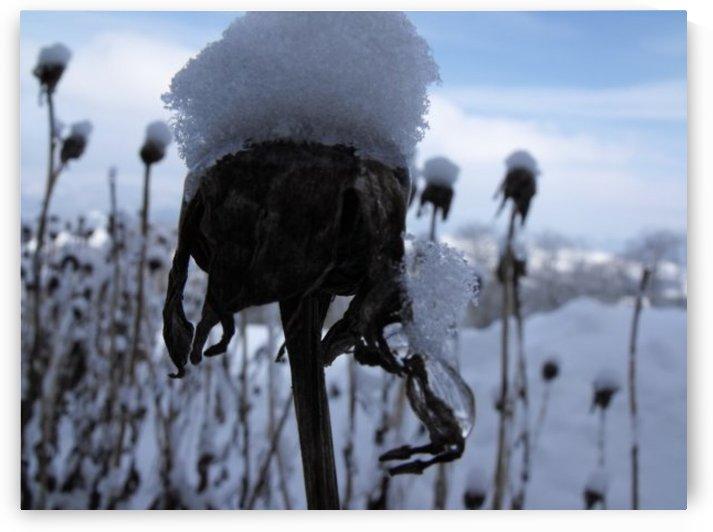 Frozen Daisy by Rebecca Madden
