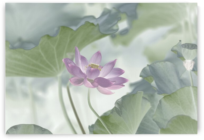 Lotus by 1x