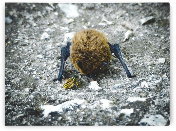 When a baby bat meets a bee. by Astrid Lutz