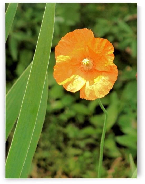 Yellow Poppy by Bob McCulloch