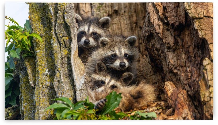 Raccoon Family Tree  by Joe Riederer
