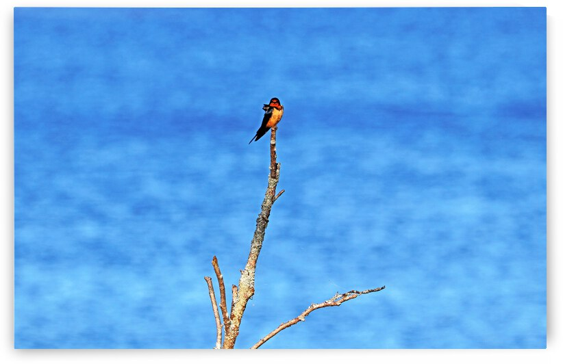 Barn Swallow By The River by Deb Oppermann
