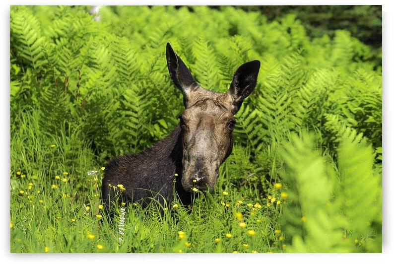 canadian moose by Ulrich Josserand