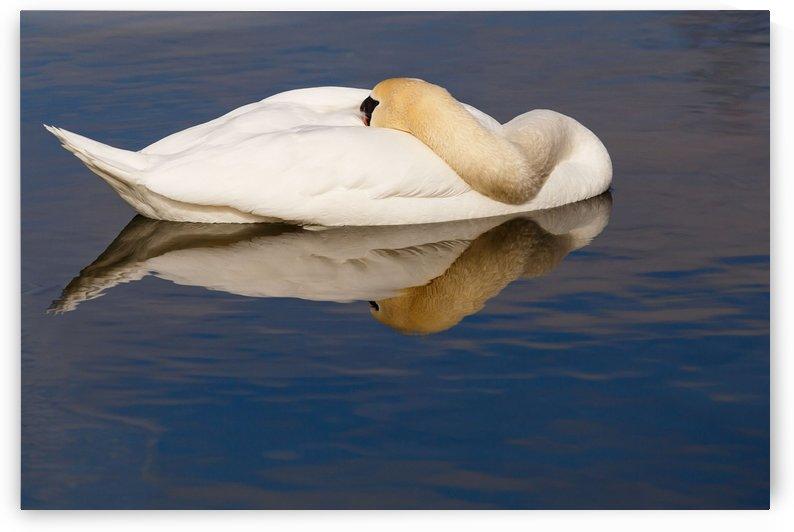 Swan in Repose by Marian Adoranti