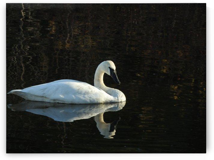 Trumpeter Swan at Estuary by J  Jasmyn Phillips