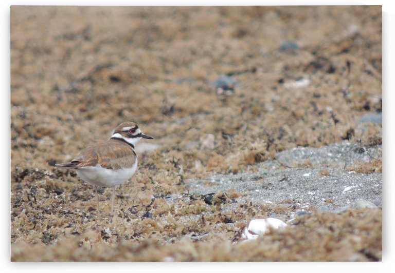 Killdeer Camouflage by J  Jasmyn Phillips