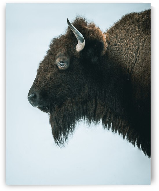 Winter Buffalo by Chad Letain