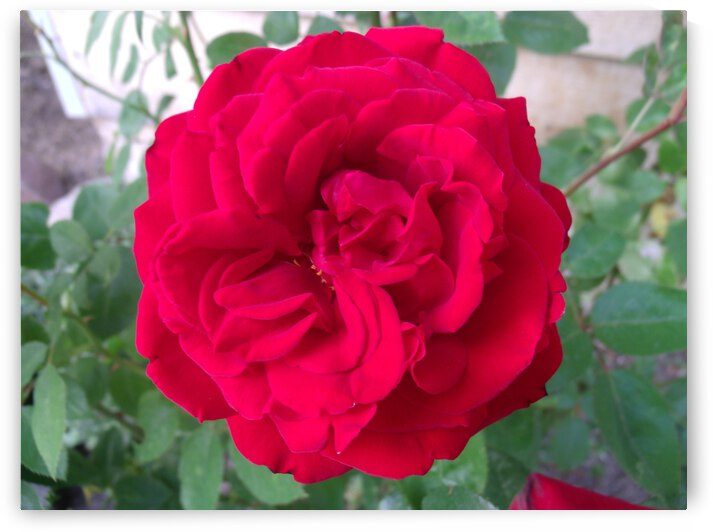 A Red Rose At The Fair by Sherrie Larch