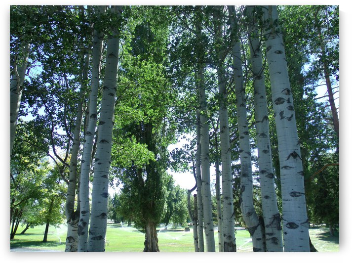 Aspen Trees In the Park 2 by Sherrie Larch