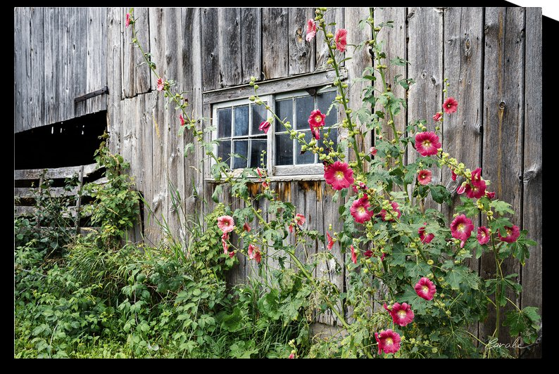 Roses tremieres embellies par une vieille grange - Hollyhocks embellished by an old barn by Pierre Cavale