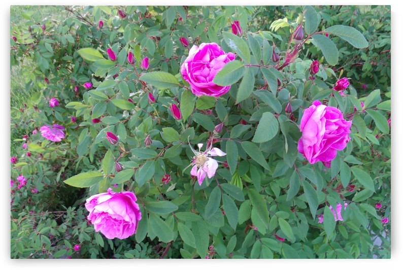Beautiful Pink Roses Late May 2018 2 by Sherrie Larch