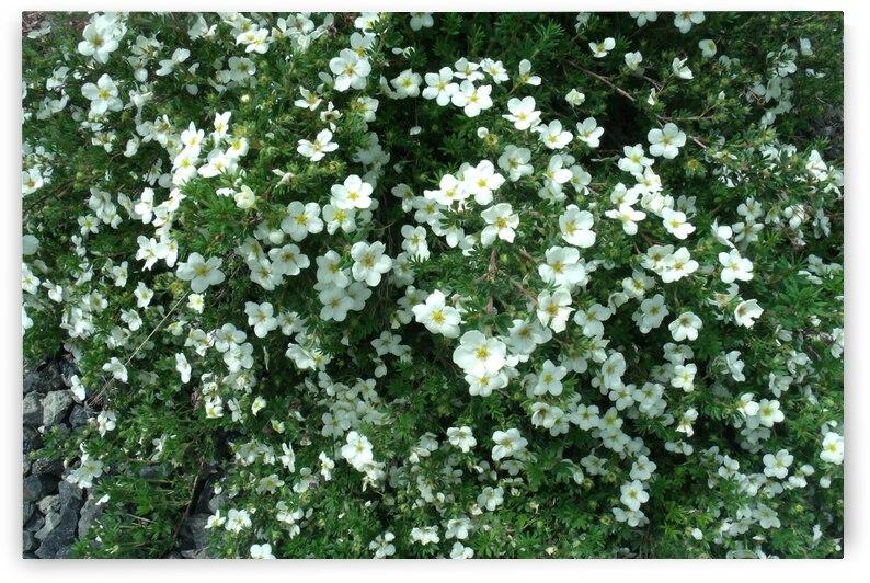Potentilla Fruticosa McKays White Early June 2018 1 by Sherrie Larch