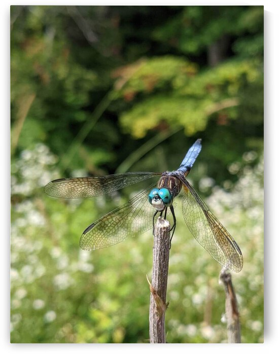 Dragonfly perched on a stick 1 by Michael Geyer