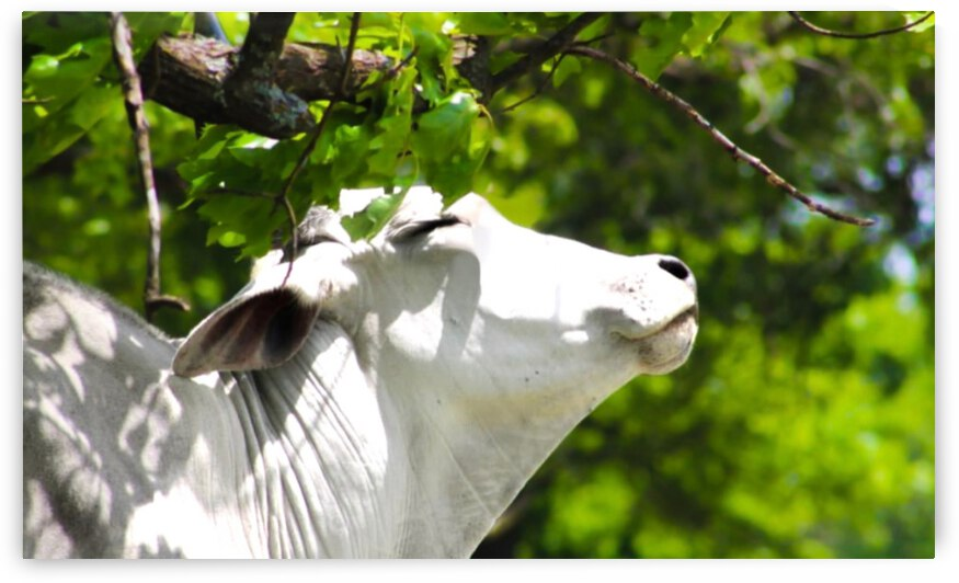 Brahman Bull Smiling in the Sun by MD Repp