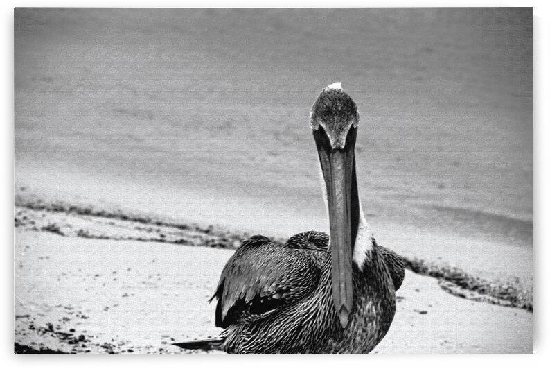 Pelican by Annamadeitt