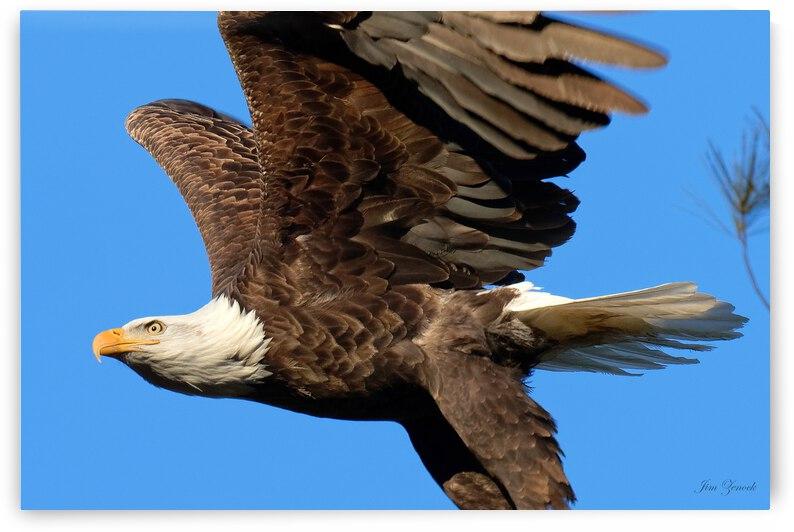 Bald Eagle by Jim Zenock