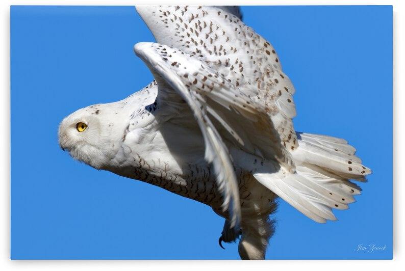 Snowy Owl by Jim Zenock