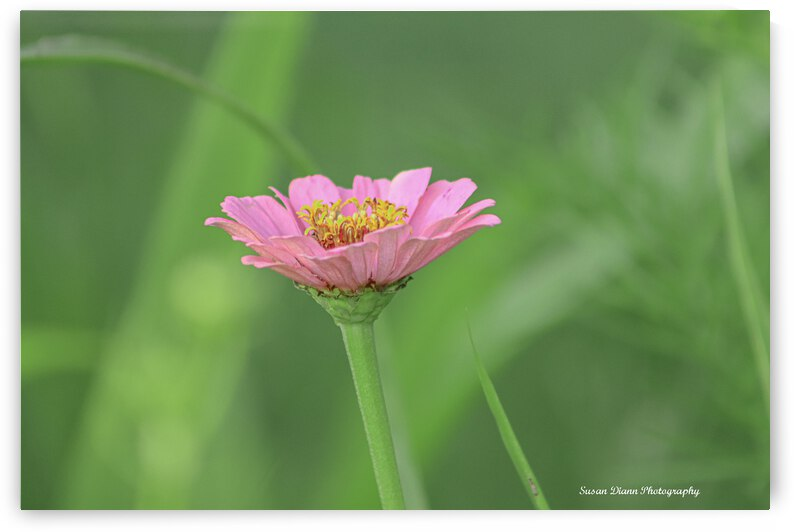 Pink Series 3 by Susan Diann Photography