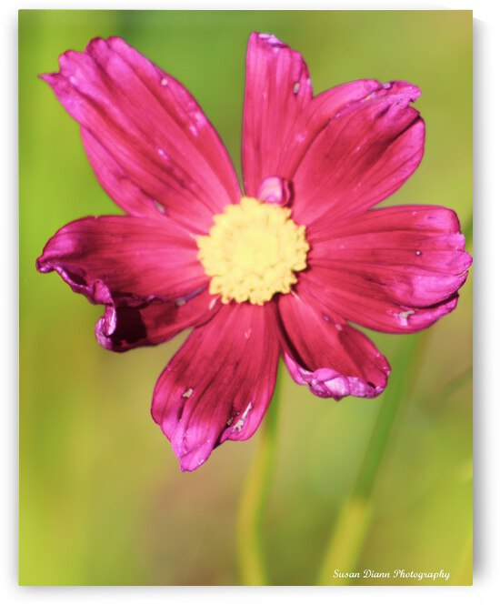 Pink Series 1 by Susan Diann Photography