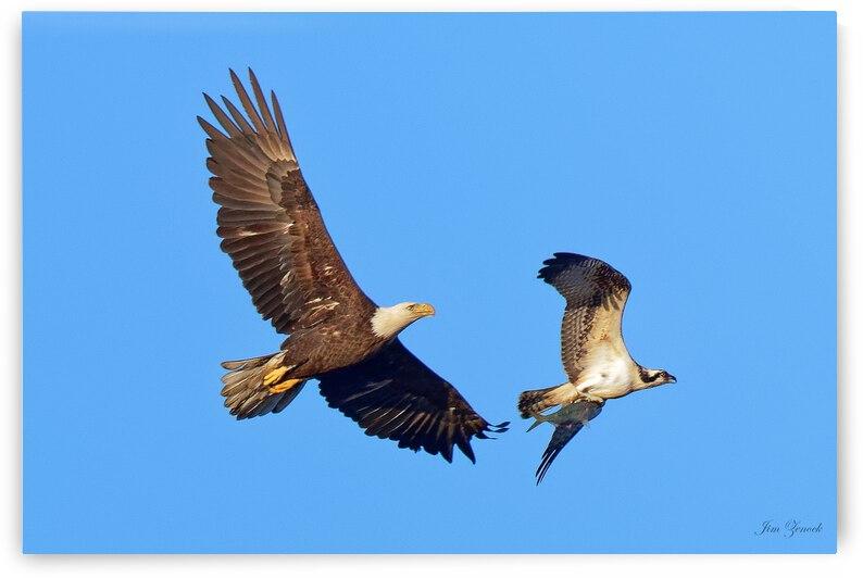 Eagles by Jim Zenock