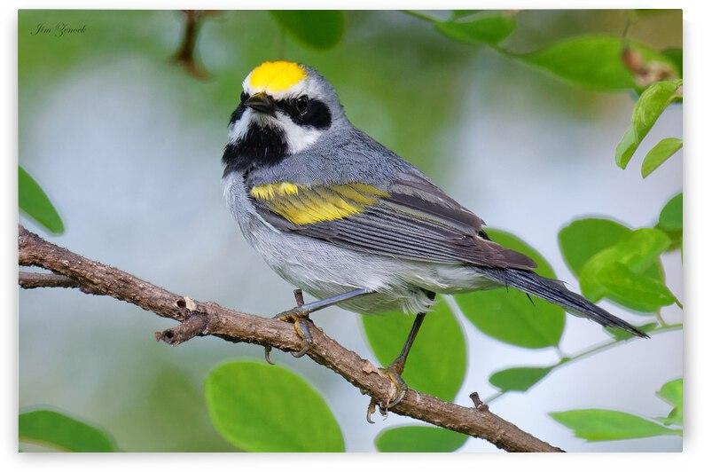 Birds by Jim Zenock