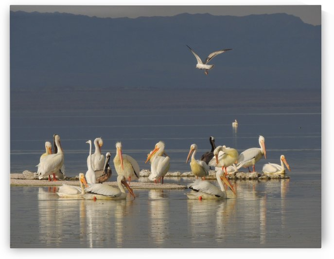 Pelicans of the Salton Sea by J  Jasmyn Phillips