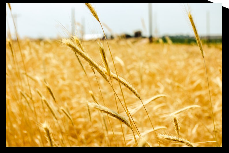 Golden Wheat by Oliver Khan