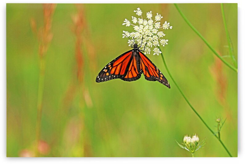 Monarch And Lace by Deb Oppermann