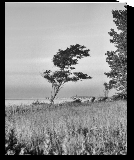 Bent by the Wind Black and White by Bob McCulloch