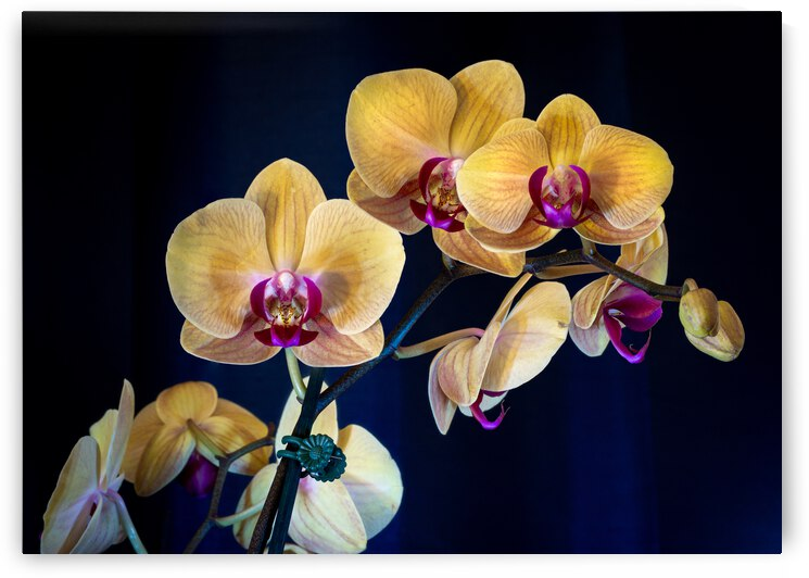 Orchids 4 by Dimitry Papkov