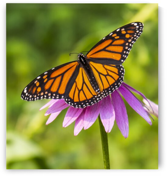 Monarch On Purple Coneflower by David C  Hintz