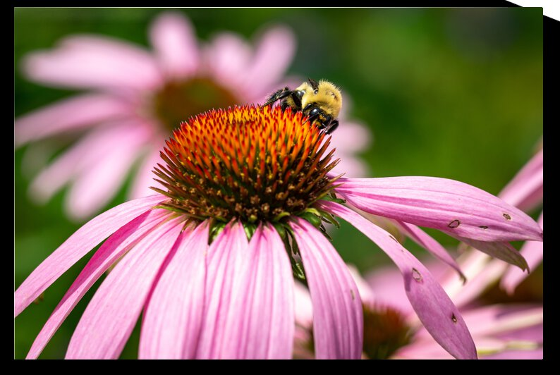 Fluffy Bumblebee on a Purple Coneflower 3 by Dimitry Papkov