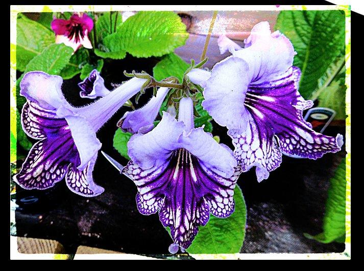 Blue and Purple Streptocarpus by Dorothy Berry-Lound