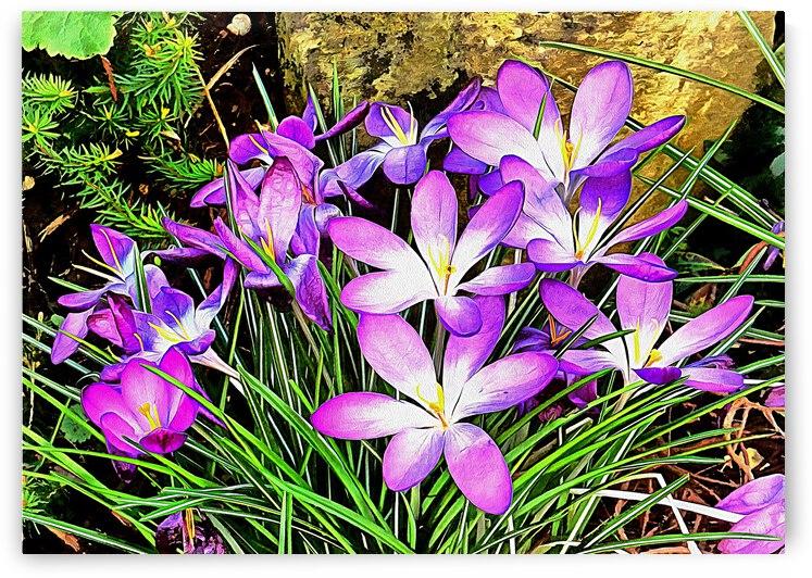 Purple Spring Crocuses by Dorothy Berry-Lound