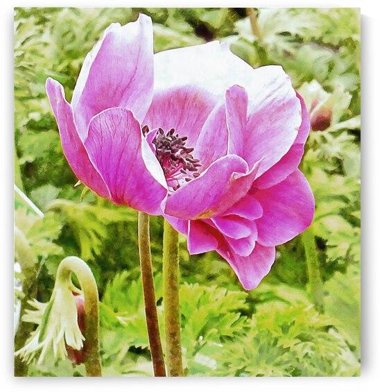 Pink Poppy Anemone Portrait by Dorothy Berry-Lound