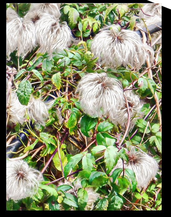 Clematis Blue Dancer Seed Heads by Dorothy Berry-Lound