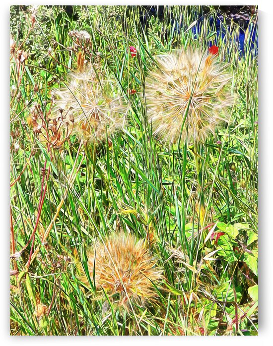 Yellow Goats Beard 3 by Dorothy Berry-Lound