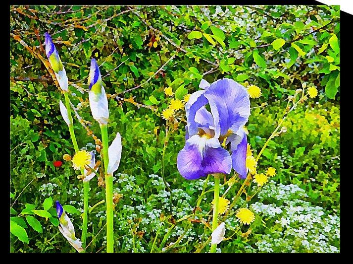 Blue Bearded Iris With Wildflowers by Dorothy Berry-Lound