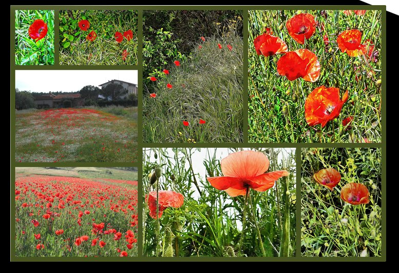 Italian Red Poppy Collage by Dorothy Berry-Lound