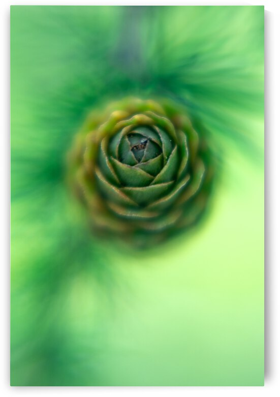 Pinecone abstract by NavPa