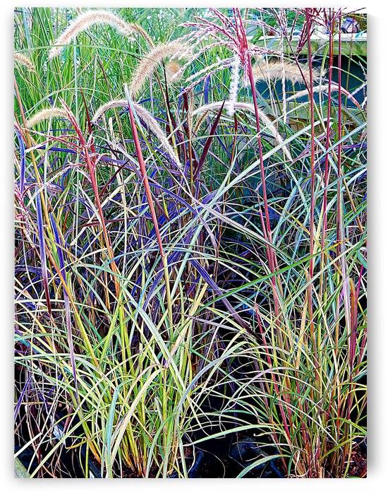 Ornamental Grasses by Dorothy Berry-Lound