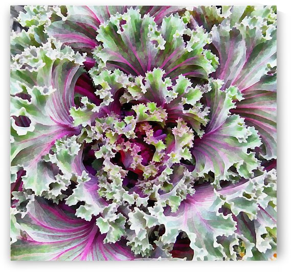 Green and Purple Ornamental Kale 1 by Dorothy Berry-Lound