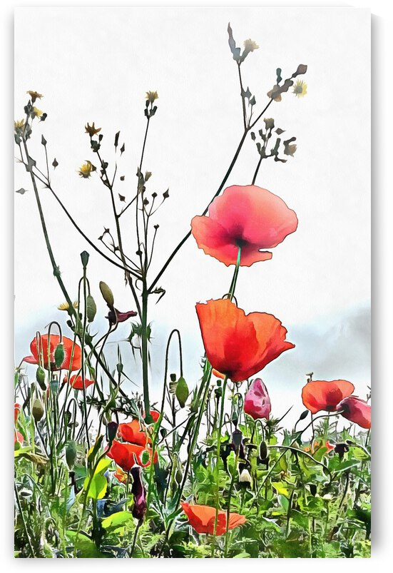 Poppies Like Paper in The Breeze by Dorothy Berry-Lound