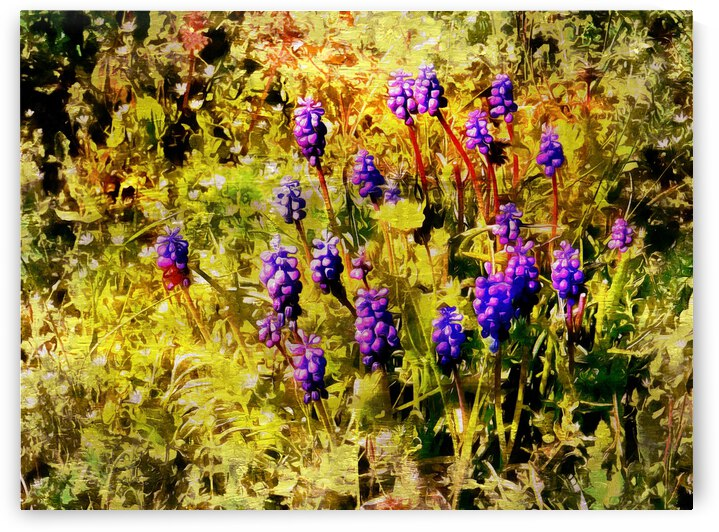 Clump of Blue Grape Hyachinth by Dorothy Berry-Lound