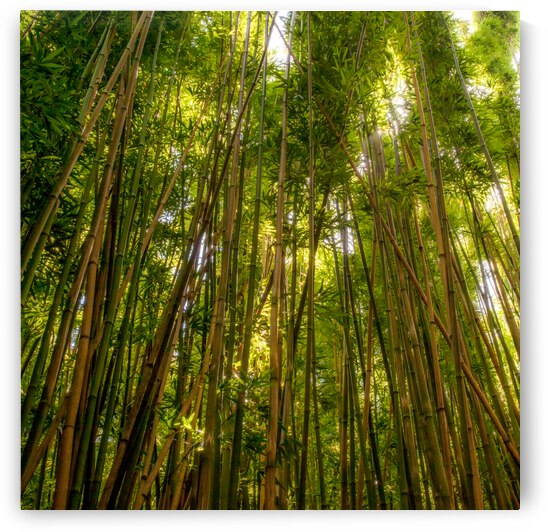 Bamboo Forrest by JOHN WALLACE