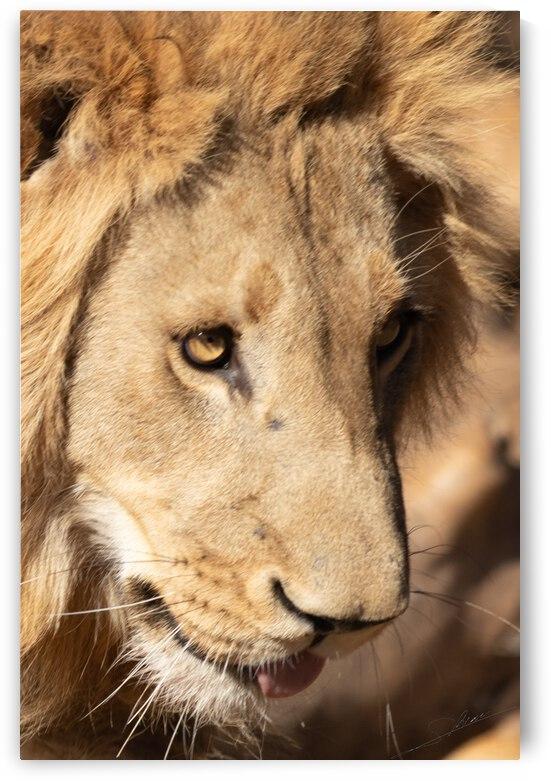 1103 - Lions portrait by Claude Riou
