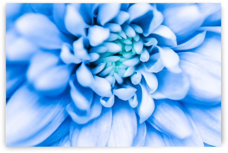 abstract floral background blue chrysanthemum flower macro flowers backdrop for holiday brand design by GrapyArt