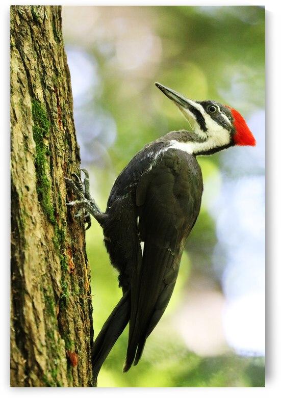 Pileated Woodpecker Posing by Deb Oppermann