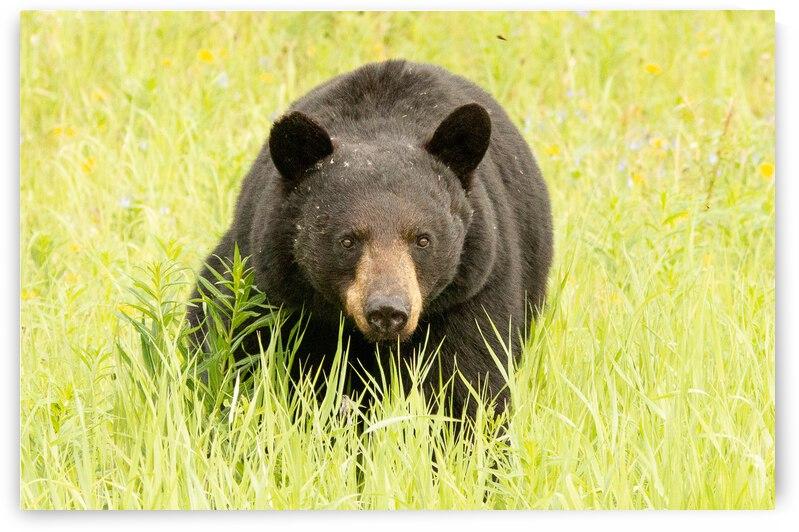 Curiuos Black Bear by Duncan Jacob