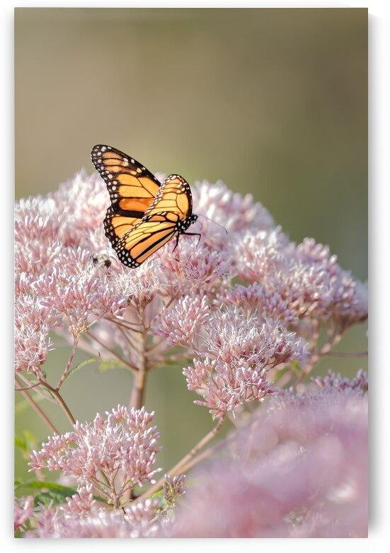 Empress Nymphalidae by Matty V clixpix